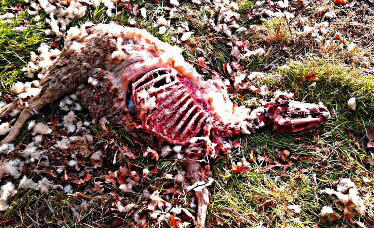 Unha ovella devorada en A Bergueira aviva o temor a ataques do lobo na zona